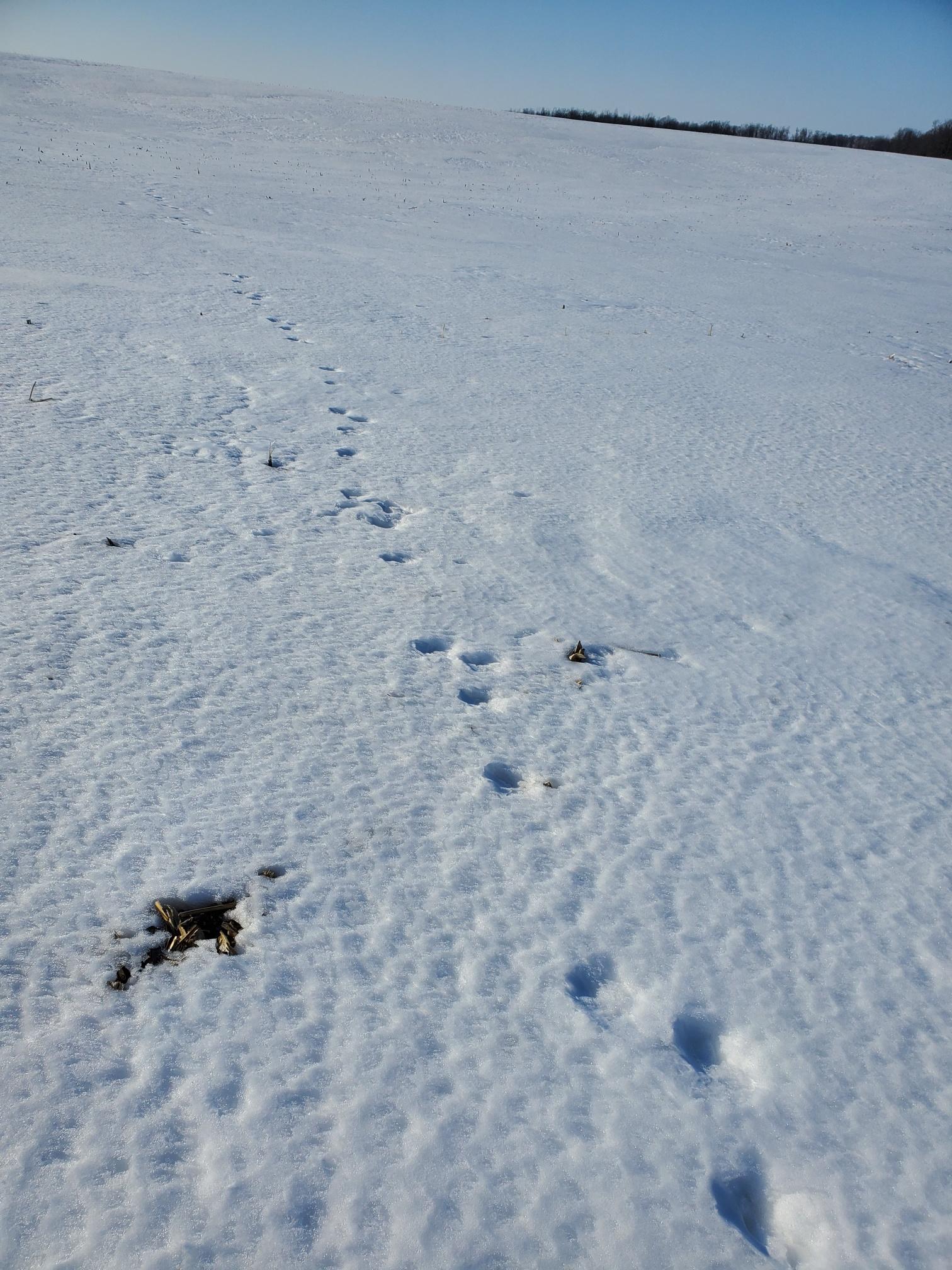 coyote tracks.jpg