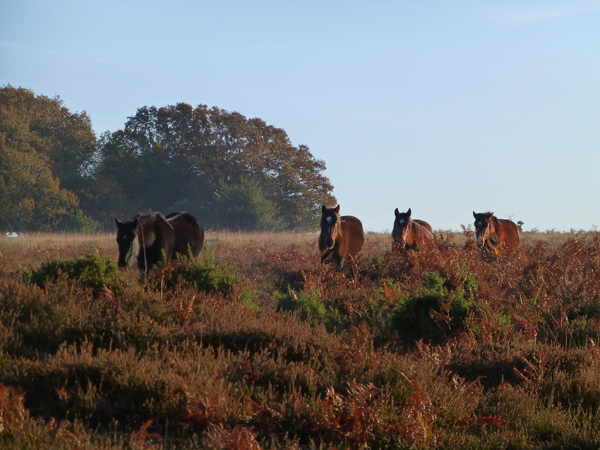 new-forest-ponies.jpg