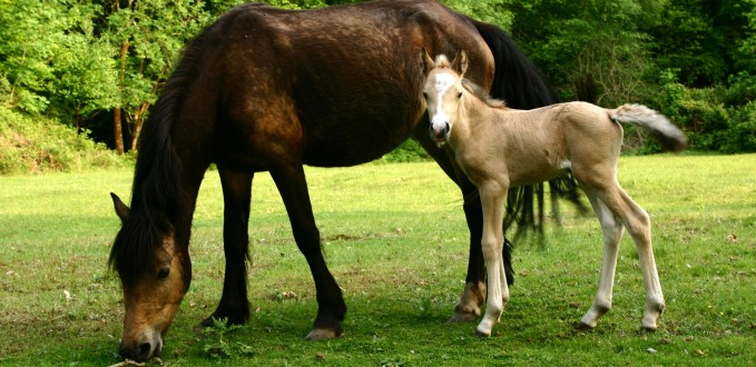 nfpony-and-foal.jpg
